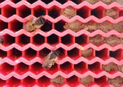 Wabe mit Roten Mauerbienen