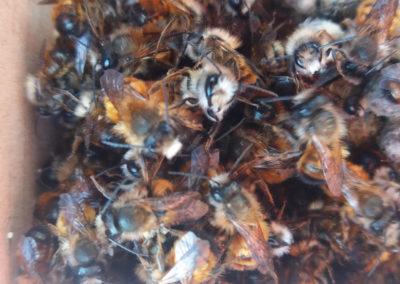 Rote Mauerbienen